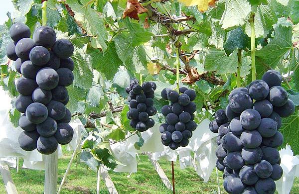 Grape ph 01 grape