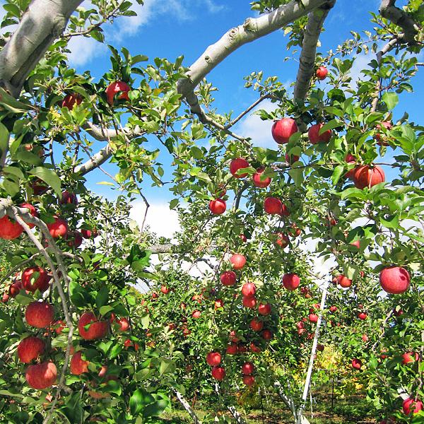 """木 りんご の """"庭でリンゴがたわわに実る""""を実現してみませんか"""